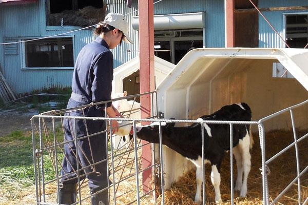 子牛のお世話も仕事の一つ